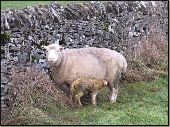 An early lamb