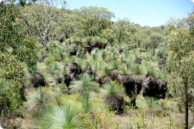 Giant Grass Trees