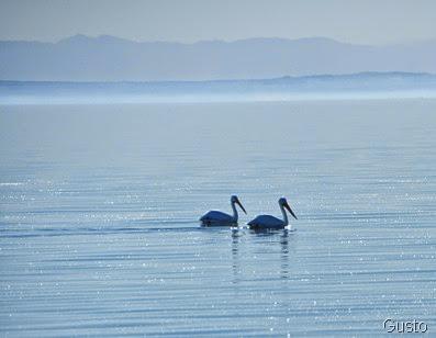 30. pelicans-gusto