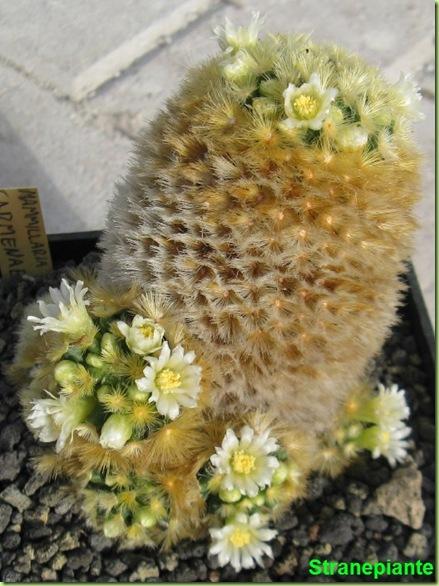 Mammillaria carmenae fioritura 1