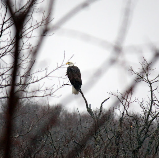 Bald eagle taking in the scene on the shores of Little Sugarbush