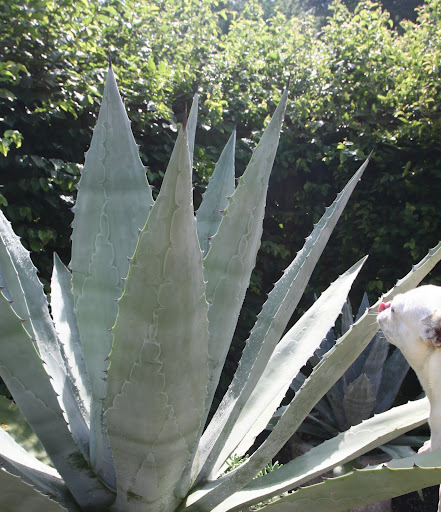 And they make tequila out of the agave plant.  Why can't I taste anything?