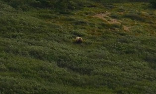 that is a very big grizzly eating berries on the hill above us