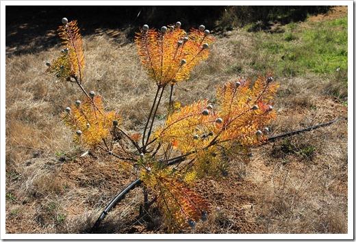 121027_UCSCArboretum_Leucadendron-linifolium_01