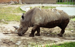1993.03.08-109.06 rhinocéros