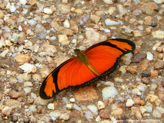 Dryas iulia (FABRICIUS, 1775). Pitangui (MG, Brésil), 11 mars 2011. Photo : Nicodemos Rosa
