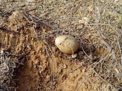 huevo rapaz esteparia