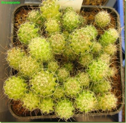 Stenocactus multicostatus-2011-11-22_00001IMG_7910