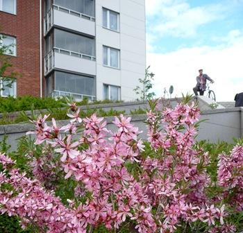 032 korr Prunus tenella 'Fire Hill' Daniel Grankvist