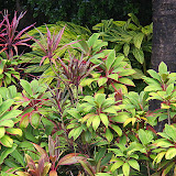 Unique And Colorful Plants at Romney Manor - Basseterre, St. Kitts