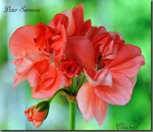 Pelargonium juni-11 121