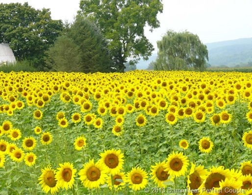 Sunflower Field2
