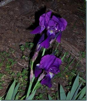 Two Iris