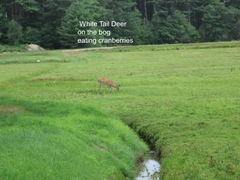 7.26.2012 deer on morse bros bog facing woods listening and watching7