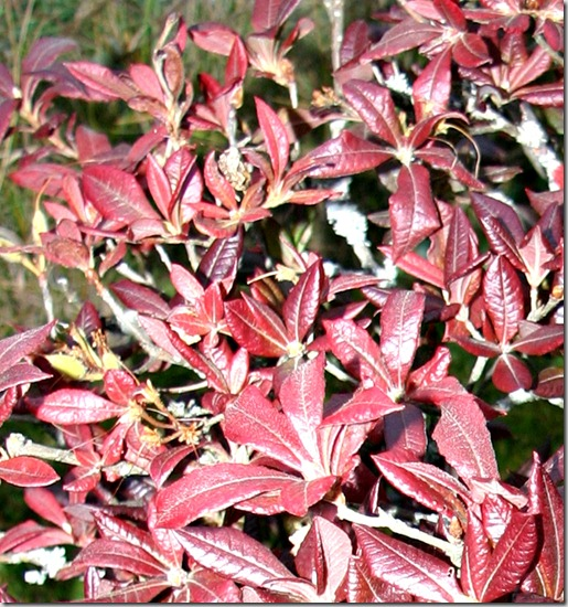 Rhododendron høstfarve2
