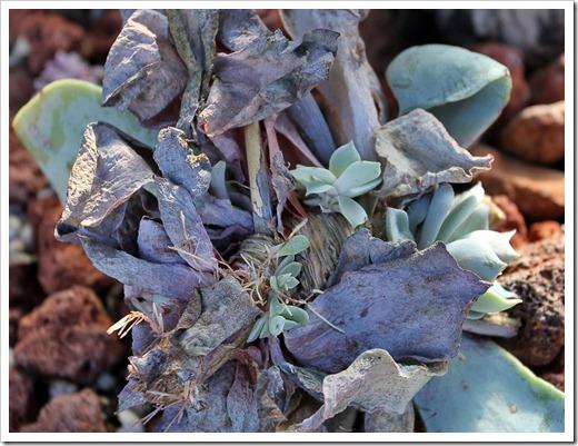 120202_Echeveria-Azure-Blue4