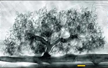 endomycorrhizae