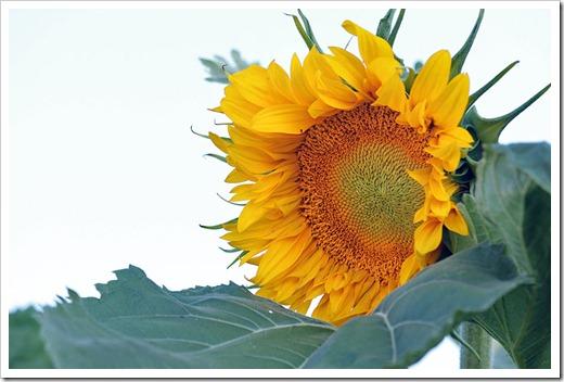 110707_sunflowers_davis_27
