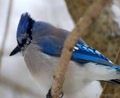2. blue jay-kab