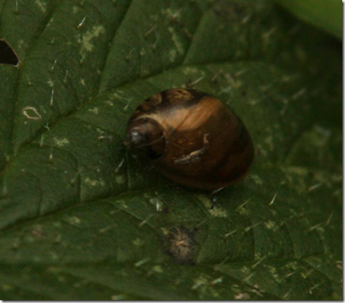 16 amber-snail-2