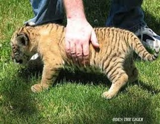 Amazing Pictures of Animals, photo, Nature, exotic, funny, incredibel, Zoo, Liger, Hybrid, Alex (2)