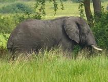 Big 5 Elephant