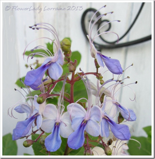 03-18-blue-butterfly-bush