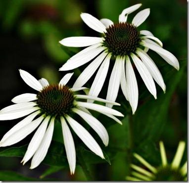 hvit echinacea_thumb2