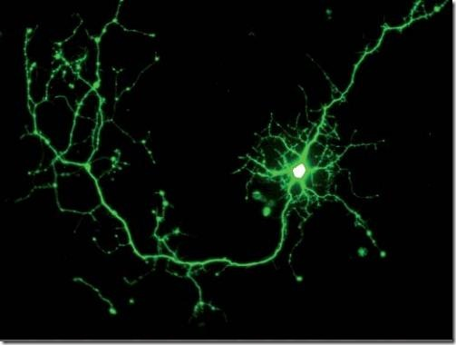 neuron-GFP