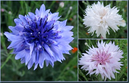 cornflower collage0608