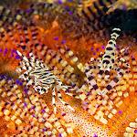 Zebra crab + Coleman