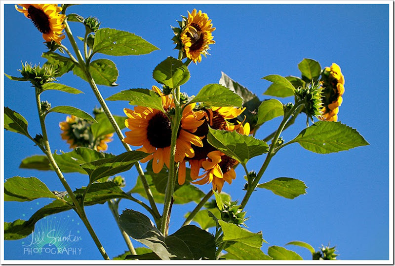 sunflower-5531