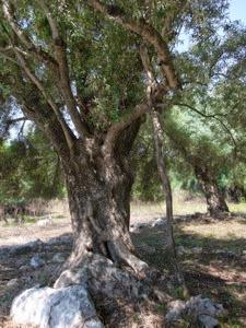 Olive stick