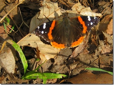 red-admiral72