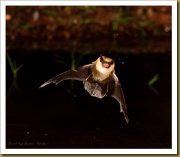 untitled Little Brown Bat_ROT5821 September 18, 2011 NIKON D3S