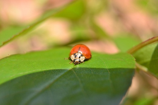 Single colour ladybird