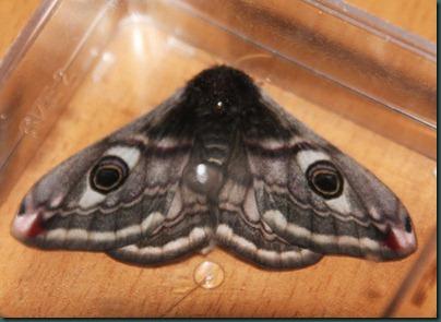 Emperor-Moth
