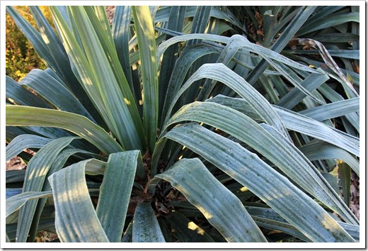 130117_UCDA_Yucca-recurvifolia_03