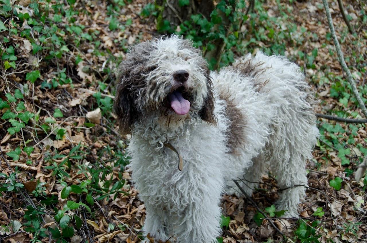 Edda, a truffle dog