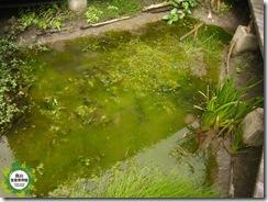 清除前,水綿大量繁殖,佔滿水生池空間
