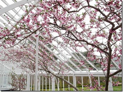 Greenhouse Cherry Blossom1-small