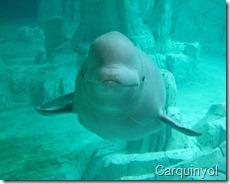 Las belugas son afectadas por la industria del aluminio en Canada,  autor Carquinyol