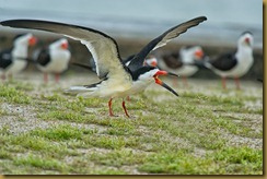 - Black Skimmer mouth olpen wings spread_ROT1002 March 10, 2012 NIKON D3S