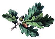 acorn oak vintage image graphicsfairy002b