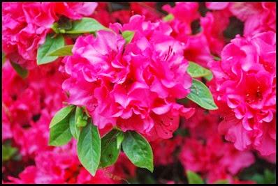 azaleas-macd-hybrid-rosy-frills-3-1