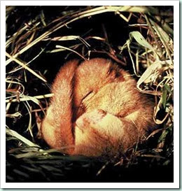 dormouse_hibernating