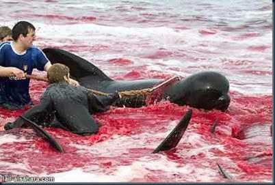 baleias-pilotos-massacradas-dinamarca