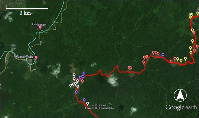 ルマ・ラサッ・トゥバ~ルマ・ジュソン付近のランカオの分布 / Scattered langkau near Rh. Lasah Tuba and Rh. Jusong