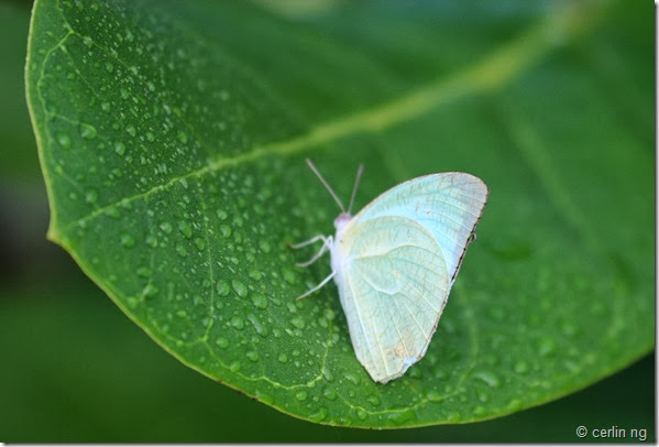 mottle emigrant