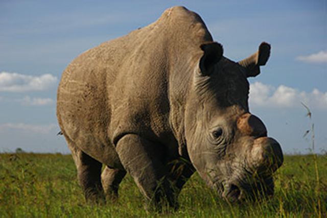 Sudan, the last male northern white rhino on the planet. Photo: Ed Barthrop / Ol Pejeta Conservancy